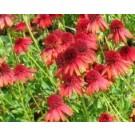 Echinacea purpurea 'Eccentric'