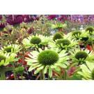 Echinacea purpurea 'Green Jewel'