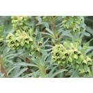 Euphorbia characias 'Black Pearl'