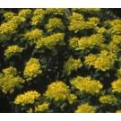 Euphorbia polychroma 'Senior'