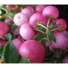 Pernettya mucronata (roze)