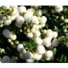 Pernettya mucronata  wit, rood en roze mix