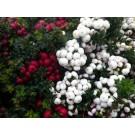 Gaultheria mucronata  wit, rood en roze