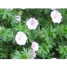Geranium sanguineum 'Apfelblute'
