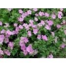 Geranium riversleaianum 'Mavis Simpson'