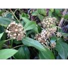 Hedera colchica 'Fall Favourite'