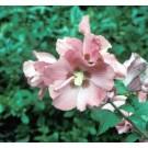 Hibiscus syriacus 'Woodbridge'