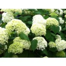 Hydrangea arborescens 'Annabelle Strong'