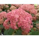 Hydrangea arborescens 'Ruby'