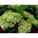 Hydrangea macrophylla Endless Summer 'The Bride'
