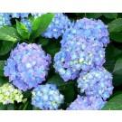 Hydrangea macrophylla ´Forever&Ever´ (Blue)