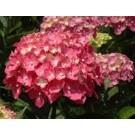 Hydrangea macrophylla ´Forever&Ever´ (Pink)