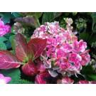 Hydrangea macrophylla 'Magical Coral'