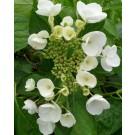 Hydrangea macrophylla 'Mme Emile Mouillere'