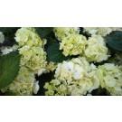 Hydrangea macrophylla ′Sneeball′