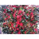 Ilex aquifolium 'J.C. van Tol'