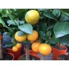 Citrus calomondin (mandarijn)