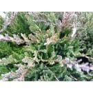 Juniperus horizontalis 'Blue Chip'