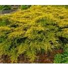 Juniperus pfitzeriana 'Gold Coast'