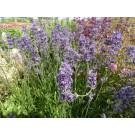 Lavandula angustifolia 'Munstead'