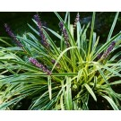 Liriope 'Gold Banded'