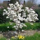 Magnolia soulangeana 'Alba Superba'