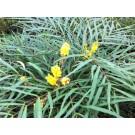 Mahonia eurybracteata 'Soft Caress'