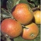 Malus domestica 'Cox's Orange Pippin'