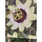 Passiflora 'Beauty of Hannover'