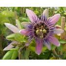 Passiflora 'Perfume Passion'