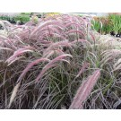 Pennisetum advena 'Summer Samba'(leverbaar van mei-november)