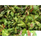 Photinia davidiana 'Palette'