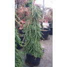 Picea abies 'Frohburg'