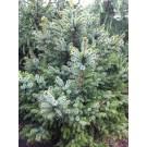 Picea omorika 'Nana'