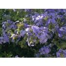 Plumbago auriculata (leverbaar tussen juni-oktober)