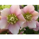 Helleborus 'Pretty Ellen' Pink