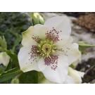 Helleborus 'Pretty Ellen' White Spotted