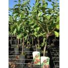 Prunus avium 'Stella' (Patio, mini fruitboom)