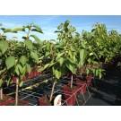 Prunus avium 'Sunburst' (Patio, minifruit)
