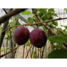 Prunus domestica 'The Czar'