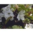 Prunus gondouinii 'Schnee'