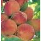 Prunus persica 'Peregrine'
