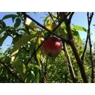 Prunus persica nucipersica persica 'Mme Blanchet'