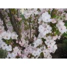 Prunus serrulata 'Amanogawa'