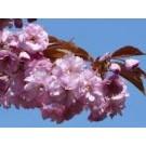 Prunus serrulata 'Kanzan'