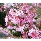 Prunus subhirtella 'Fukubana'