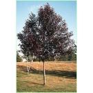 Prunus virginiana 'Shubert'