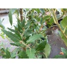 Quercus hispanica 'Waasland'