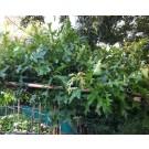 Quercus palustris(vorm)