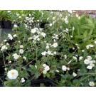 Ranunculus aconitifolius 'Pleniflorus'